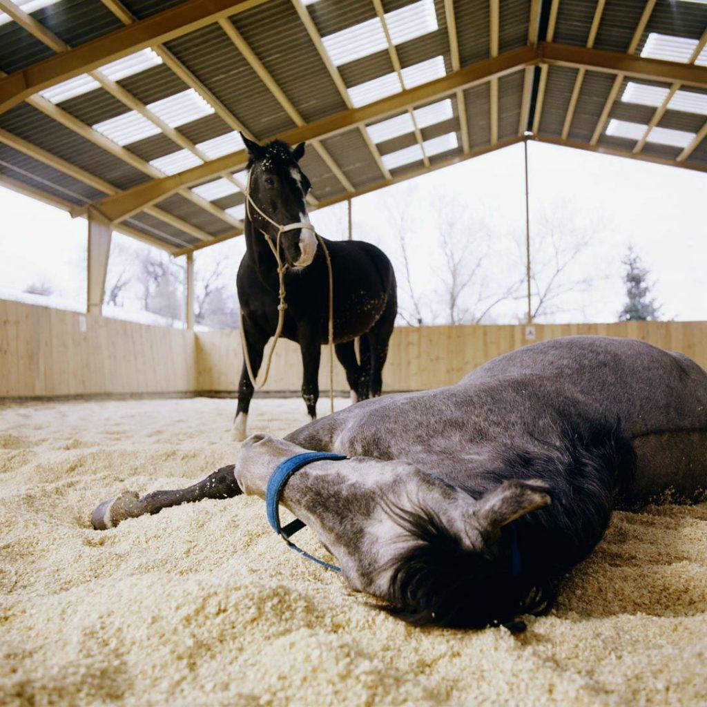 Pferde in der Happy Horse Einstreu